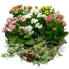 Same day delivery available with the Kalanchoes Arrangement