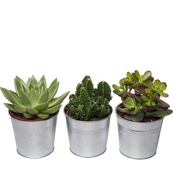 Same day delivery available with the Mini Cactus Trio