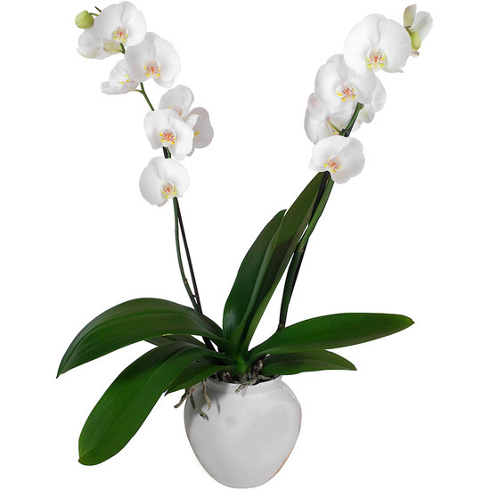 Same day delivery available with the White Orchid