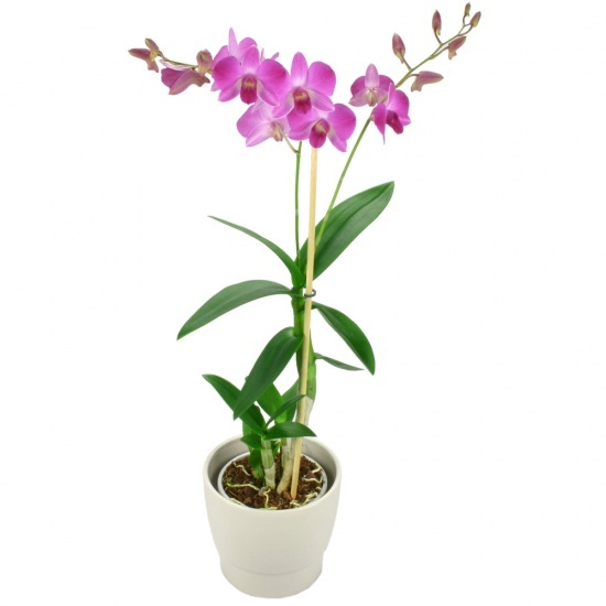 Same day delivery available with the Pink Orchid