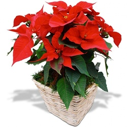 Same day delivery available with the Christmas Poinsettia
