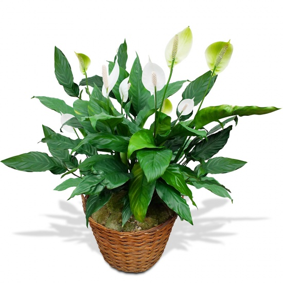 Same day delivery available with the Spathiphyllum